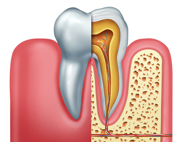 Diagram of a tooth showing the tooth root at McDonald Dental in Houston, TX